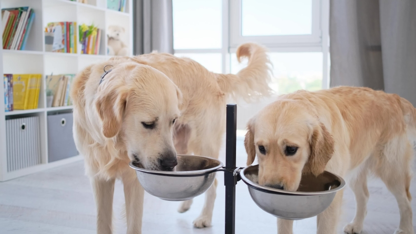 Couple of golden retriever dogs drinking water from bowl on stand at home Royalty-Free Stock Footage #1058303761