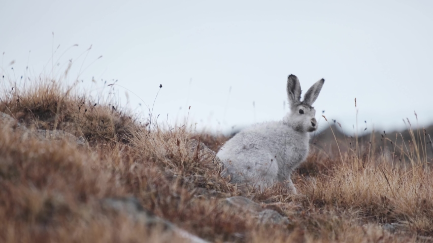 Greenlandic Arctic Hare. The white bunny with sunglasses and snowshoes. An arctic hare is beautiful with its white, fluffy winter fur to keep it warm in the cold arctic weather.