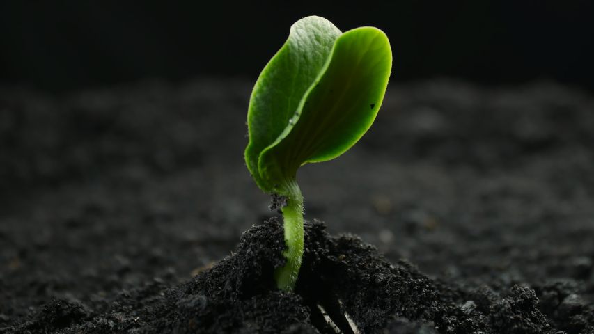 Growing plants in timelapse, Sprouts Germination newborn plant | Shutterstock HD Video #1058325193