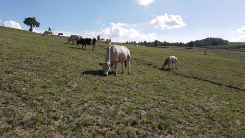 Grazing cows don't like to be disturbed.