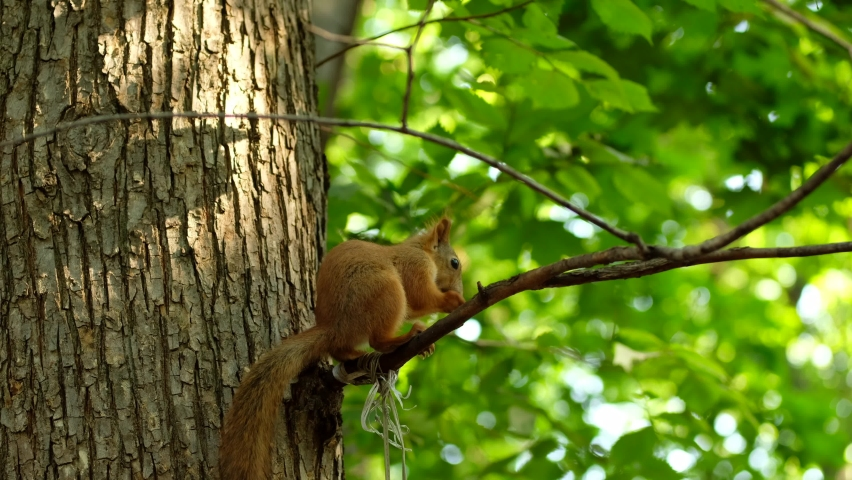Red squirrel on tree in park, in a natural environment. | Shutterstock HD Video #1058460187