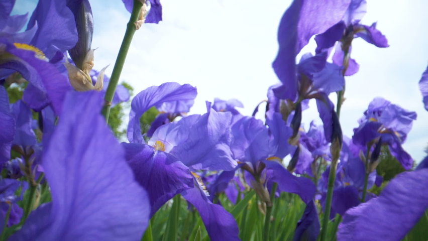 Closer look of the iris flowers in purple color | Shutterstock HD Video #1058487301