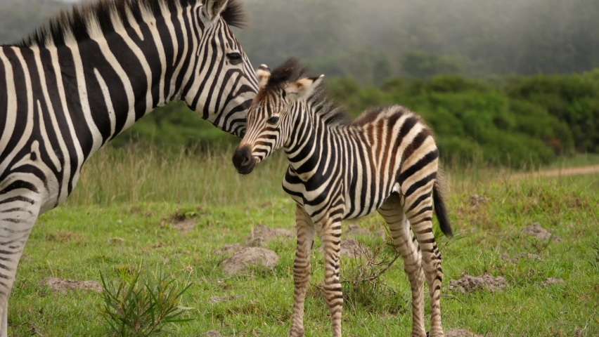 Burchell's Zebras, mother and foal in Addo Elephant National park, foggy day   Shutterstock HD Video #1058497522