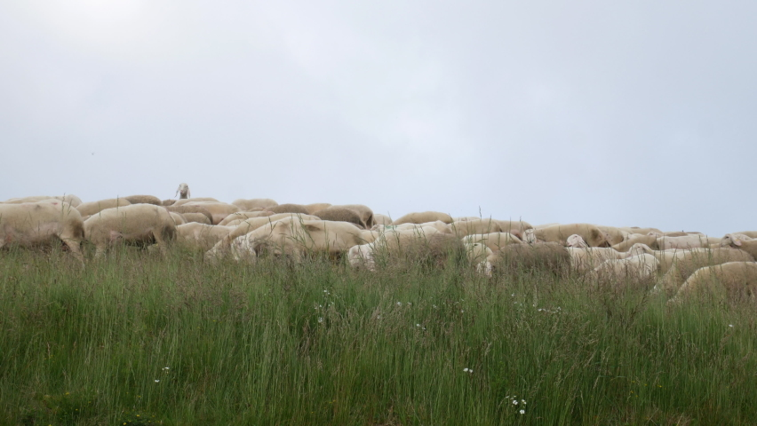 Curious sheep raises its head in the middle of the flock, sheep against the current. stand out from the crowd concept Royalty-Free Stock Footage #1058518267