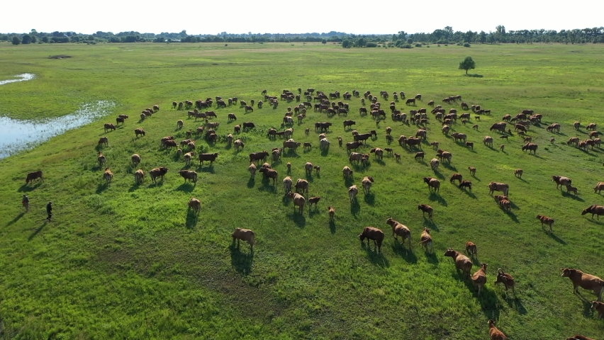 Aerial view of the herd of cows at green meadow near with river. Drone photo of plein air of river and green field with herd of cows. trees in the background.