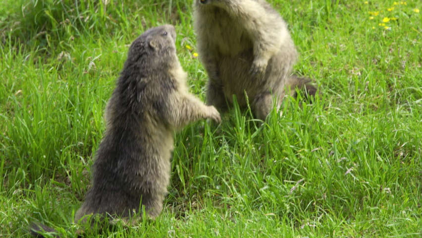 Marmots fighting for dominance on a meadow