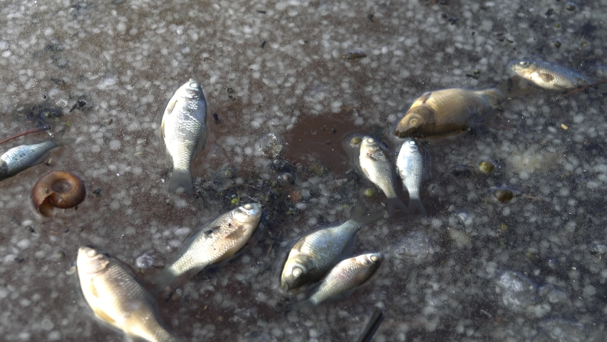 Ichthyology. Winter kill. Small Silver and Golden Carps suffocated under the ice. The fish thawed in the spring along with the dead snails | Shutterstock HD Video #1058624680
