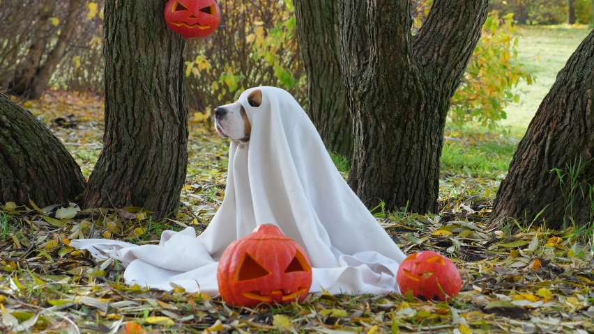Funny dog in ghost costume turn head and look straight to camera, then turn back, autumn park outdoors. Fallen leaves lie around, carved pumpkins on ground. | Shutterstock HD Video #1058626543