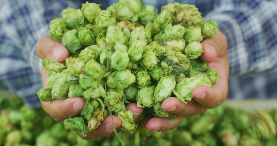Close up shot of an young successful farmer is showing a heap of biologic raw hop flowers used for high quality beer production in ecological craft brewery harvested in a right season.