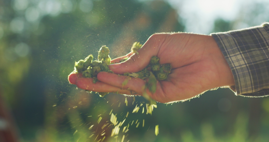 Close up shot of an young successful farmer is controlling with his hands at the moment harvested biologic raw hop flowers used for high quality beer production in ecological craft brewery. Royalty-Free Stock Footage #1058631022