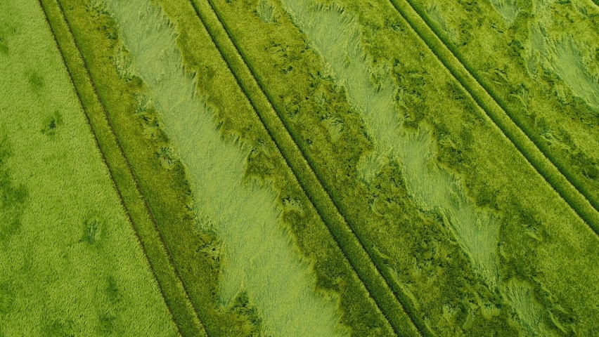 Aerial shot of wheat field with hail damage | Shutterstock HD Video #1058649163