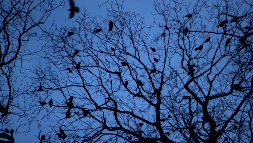 Silhouette of flock of crows in tree at night. Scary black raven nesting on tree tops at blue hour. Bird migration at dusk, Halloween