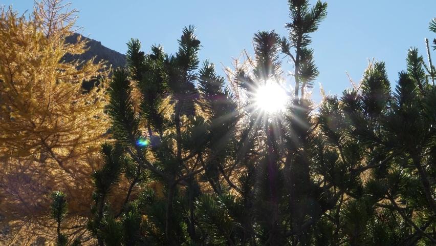 Larch tree in autum sun, Naturpark Tiroler Lech