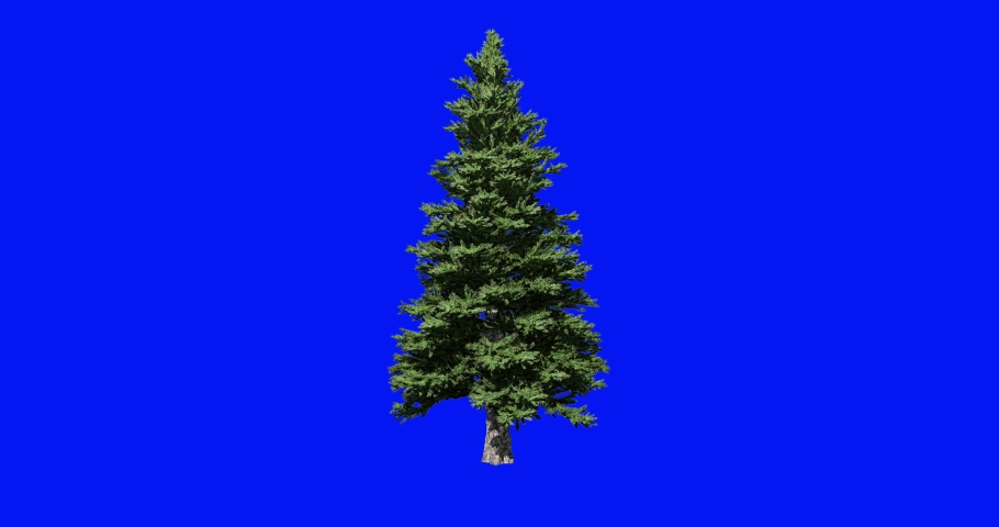Tree branches blowing in the wind. tree animation with Blue Screen Chromakey. Pine Christmas tree.     Shutterstock HD Video #1058716603