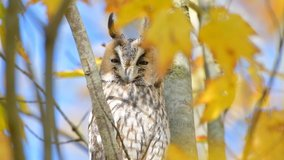 Long-eared owl (Asio otus) sitting high up in a tree with yellow colored leafs during a fall day. Slow motion clip at half speed.