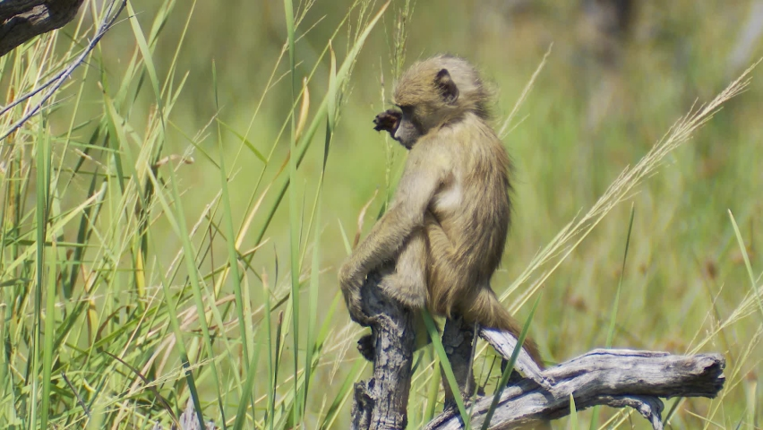 Funny animal fail as a baby baboon trips and falls from a tree branch then looks around like he is wondering what just happened.