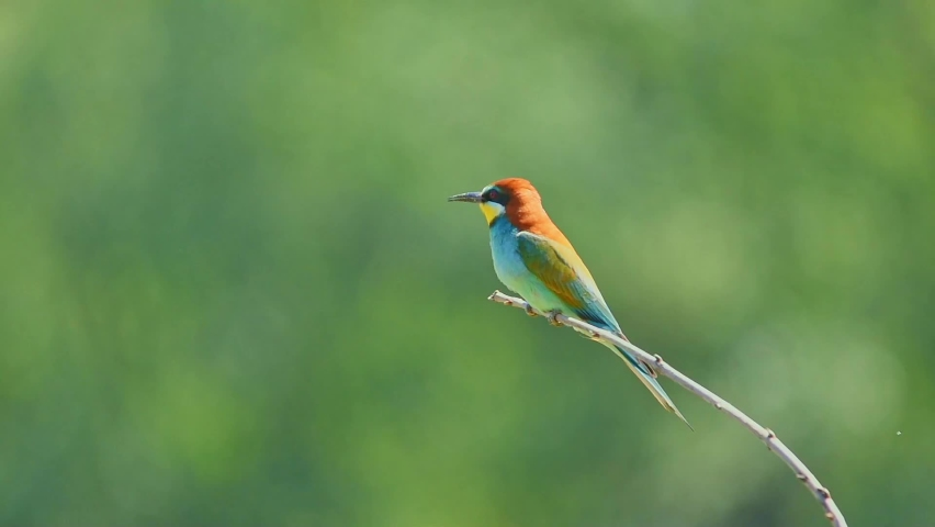 European bee-eater bird (Merops apiaster) perching on a branch in green nature background | Shutterstock HD Video #1058778877