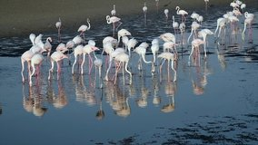 HD Wildlife Videos, Flock of Flamingos at Ras al Khor Wildlife Sanctuary, a Wetland Reserve in Dubai, United Arab Emirates, Flamingos Videos.