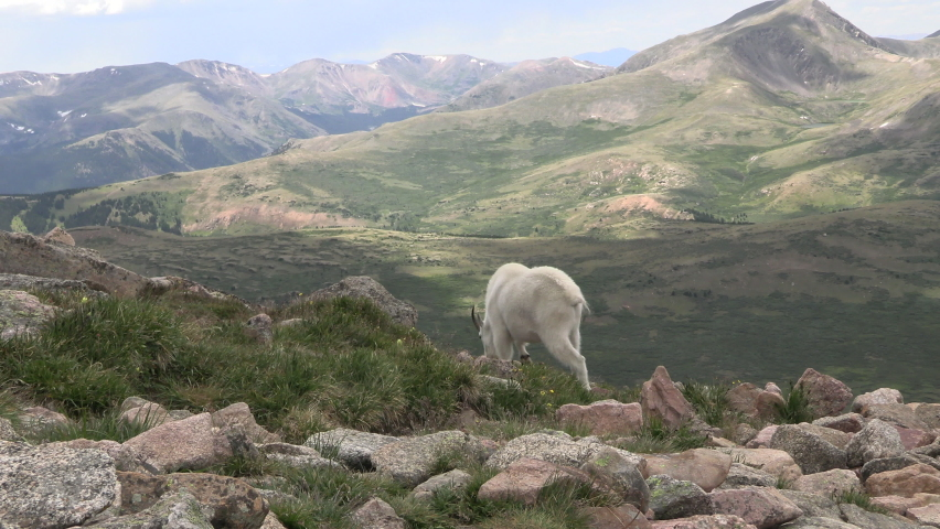 Mountain Goat Male Billy Adult Looking Around Summer