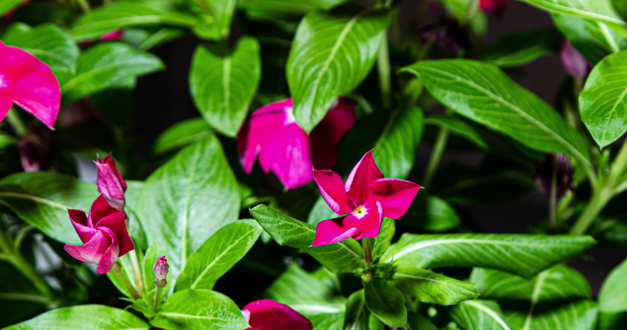 A flower bush with red blossoms blooms. The bud opens and blooms into small red flower. Time lapse of a blooming flower bush. Detailed macro time lapse of blooming flowers. small red flowers | Shutterstock HD Video #1058803240