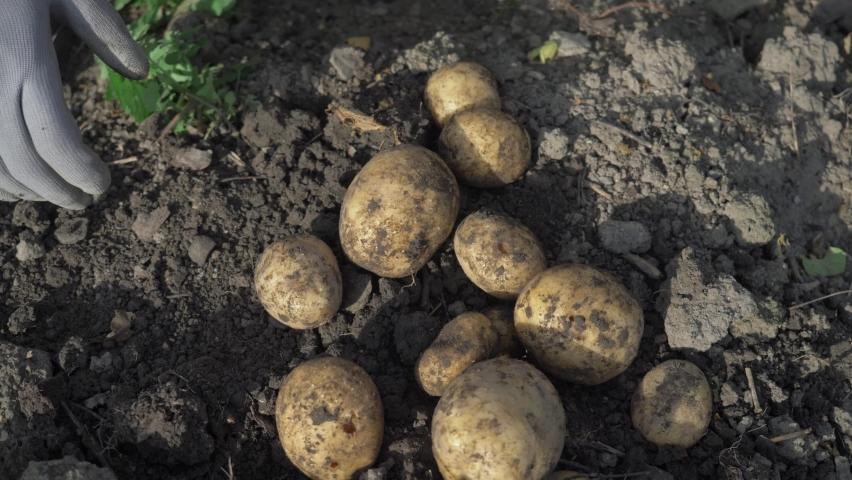 farmer harvesting potato crops in september. organic farming, autumn, harvest season. digging up potatoes in garden. Royalty-Free Stock Footage #1058814238