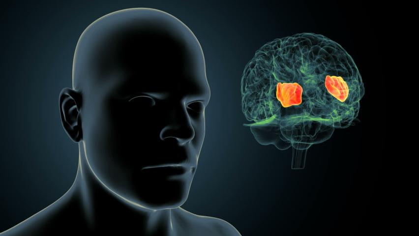 Human Brain inner parts pineal gland anatomy  | Shutterstock HD Video #1058824087