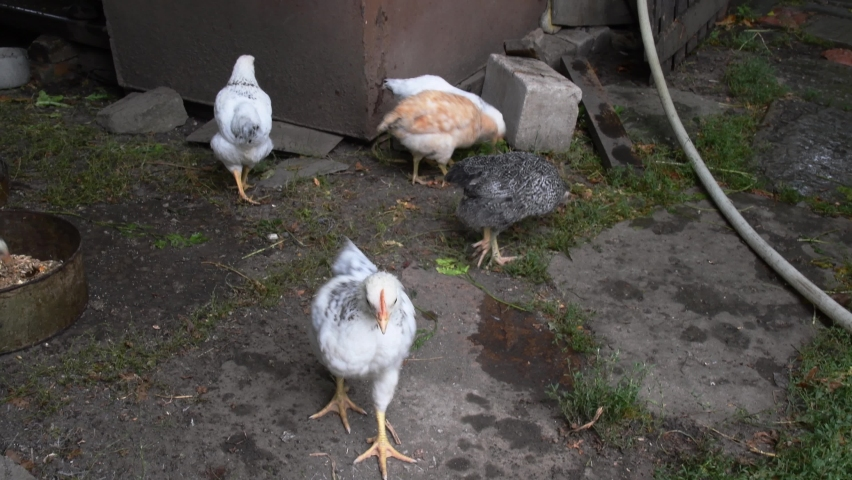 Little curious chick looks into camera and moves head. Organic chicken farming. Rural scene of chickens walking