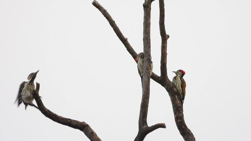 Woody woodpecker in Tree MP4 UHd Video. | Shutterstock HD Video #1058868847