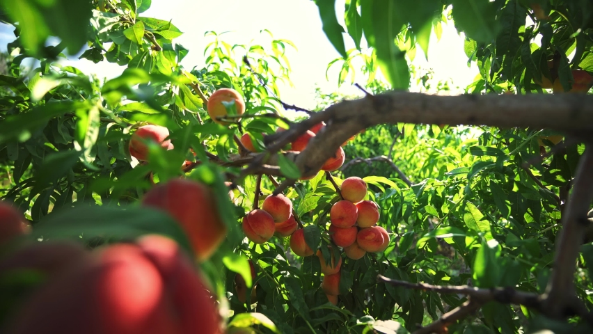Peaches hanging on a branch in orchard. Fruits ripen in the sun.  Big juicy peaches on the tree. Fabulous orchard. Magical sunlight. Fruit picking season. Peach fruit. Sunlight. Healthy food. Organic