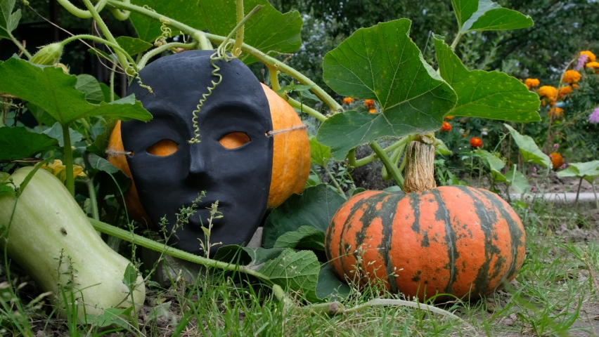 Pumpkins in the garden are decorated for Halloween. Pumpkin in a black face mask. Mass produced mask. Autumn wind. | Shutterstock HD Video #1058888932