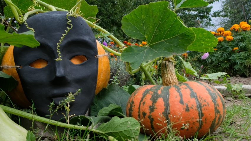 Pumpkins in the home garden are decorated for Halloween. Pumpkin in a black face mask. Mask of mass production. Autumn flowers. | Shutterstock HD Video #1058897771