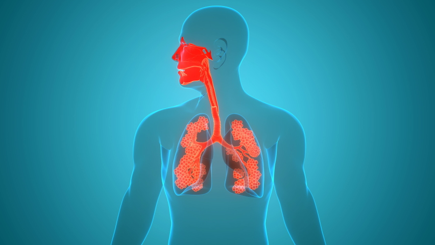 Human Respiratory System Lungs with Larynx and Pharynx with Alveoli Anatomy Animation Concept. 3D Royalty-Free Stock Footage #1058902748