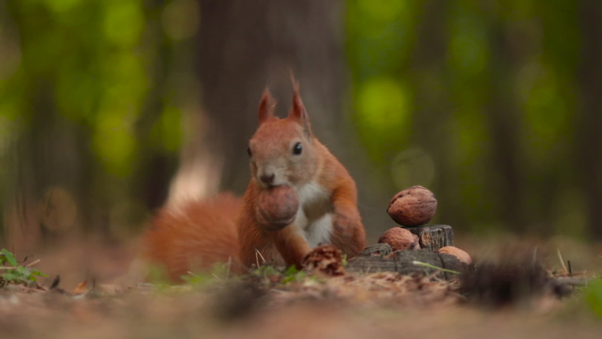 A cute squirrel chooses a nut.The squirrel is sniffing nuts. Animal, wild, cute, rodent, nature, forest, nut, stump, macro, blurred background, choice, funny, curiosity.
