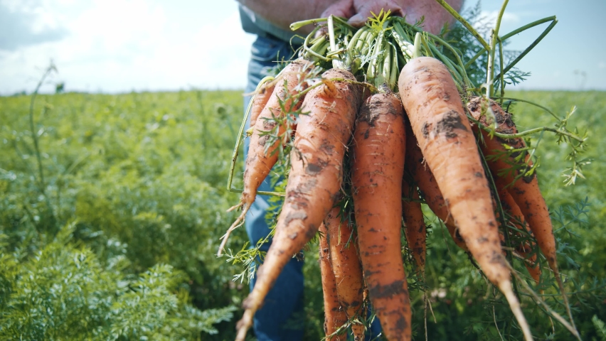 Close up of farm specialist worker pulling out freshly picked carrots and showing at camera. Summer vegetable growth. Production of natural food. Agribusiness. Royalty-Free Stock Footage #1058930747