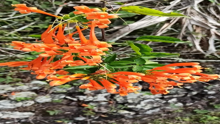 Flame vine, which was formerly known as Pyrostegia ignea, is a flowering woody vine in the Bignoniaceae family, which also includes trumpet creeper. | Shutterstock HD Video #1058994278