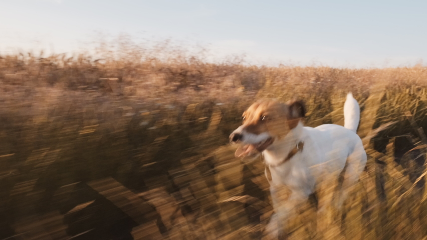 Dog Jack Russell Terrier runs Wheat Field along country road for walk with his owner sticking out his tongue in summer in sun at sunset slow motion. Pet runs quickly in meadow. Lifestyle. Farm. Agro Royalty-Free Stock Footage #1059000914
