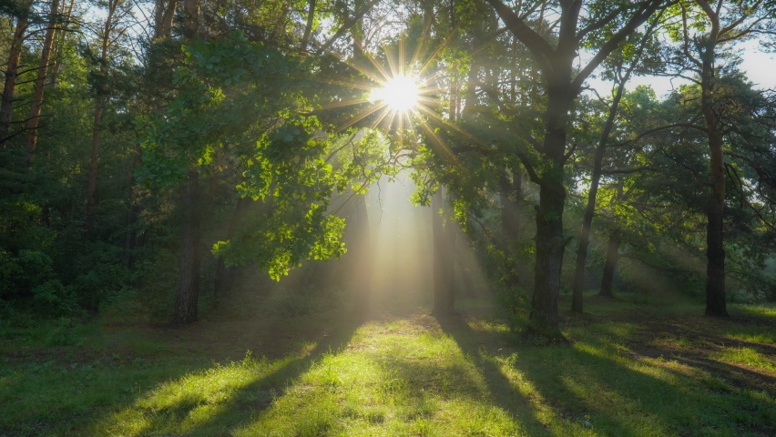 Walk through the magic forest in the morning. Sun rays emerging though the green tree branches. Green forest with warm sunbeams illuminating oak tree. Gimbal high quality shot