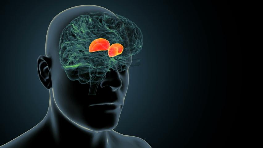 3d render of human brain inner parts anatomy( thalamus ) | Shutterstock HD Video #1059021224