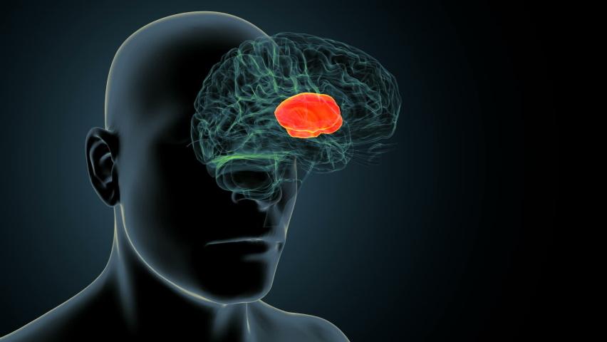 3d render of human body brain inner parts anatomy (putamen)  | Shutterstock HD Video #1059021605