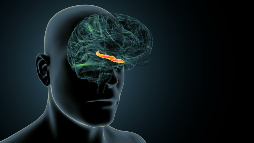 3d render of human body brain inner parts anatomy(hippocampus) | Shutterstock HD Video #1059021767