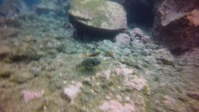 Bright yellow orange parrot fish underwater in Atlantic ocean. Amazing, awesome, incredible, fascinating marine inhabitants on seabed of La Palma Canary Islands. Relax video about marine fish.