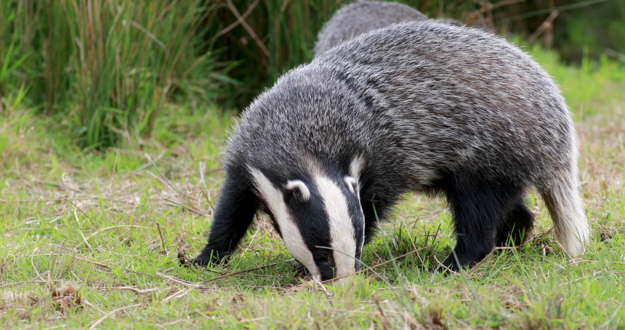 European Badgers, meles meles, close up to mid shots of badgers grazing and walking on grass with head detail.