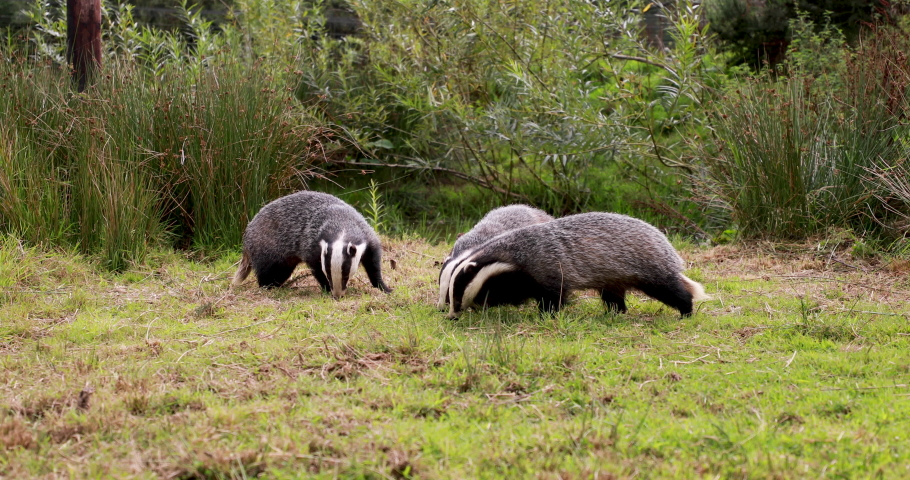 European Badgers, meles meles, wide animal level shots of badgers grazing and walking on grass with head and body detail.