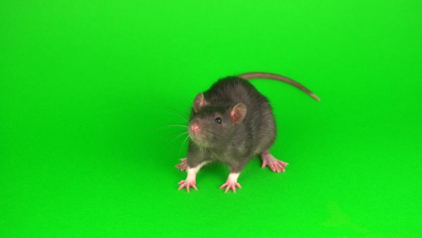 Gray rat on green screen background