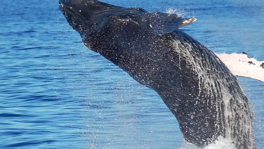 Humpback whale (Megaptera novaeangliae) breaches near Maui island. Shot in Hawaiian Islands Humpback Whale National Marine Sanctuary. Slow motion version | Shutterstock HD Video #1059077237