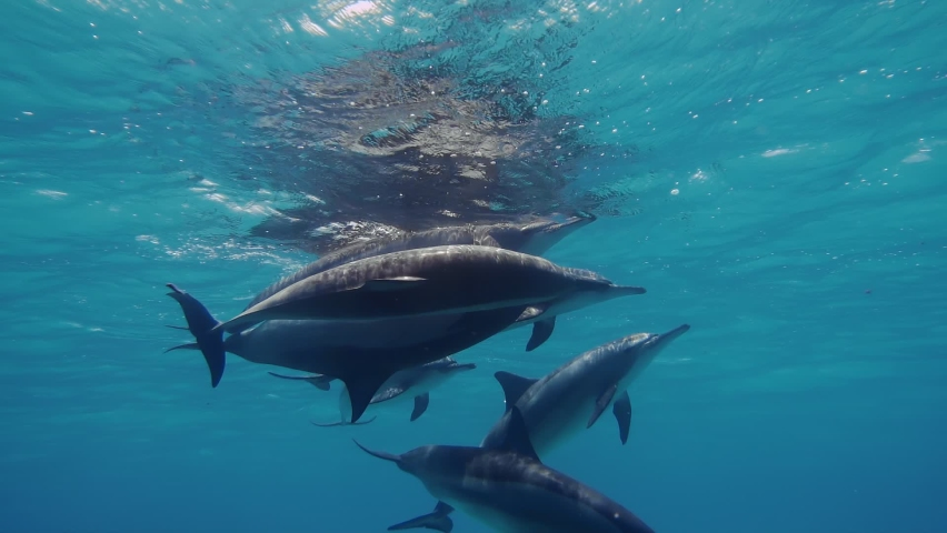 Wildlife nature. Group of dolphins playing in the blue water of Red sea. Underwater shot of wild dolphin taking breath. Aquatic marine animals in their natural habitat. Closeup of friendly bottlenose. Royalty-Free Stock Footage #1059092924