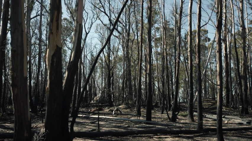 Flying through a burnt gum tree forest with tall blackened, fire damaged trees, dirt ground and blue sky in the background. Smooth motion filmed in 4k on location in the bushland of Australia. | Shutterstock HD Video #1059106313
