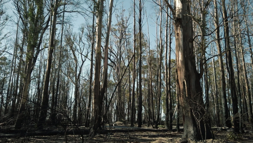 Flying through a burnt gum tree forest with tall blackened, fire damaged trees, dirt ground and blue sky in the background. Smooth motion filmed in 4k on location in the bushland of Australia. | Shutterstock HD Video #1059106316
