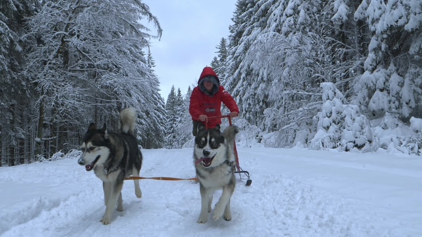 Husky dogs dragging a man on a sled, snow falling on them, on a cloudy, winter day, - Slow motion shot