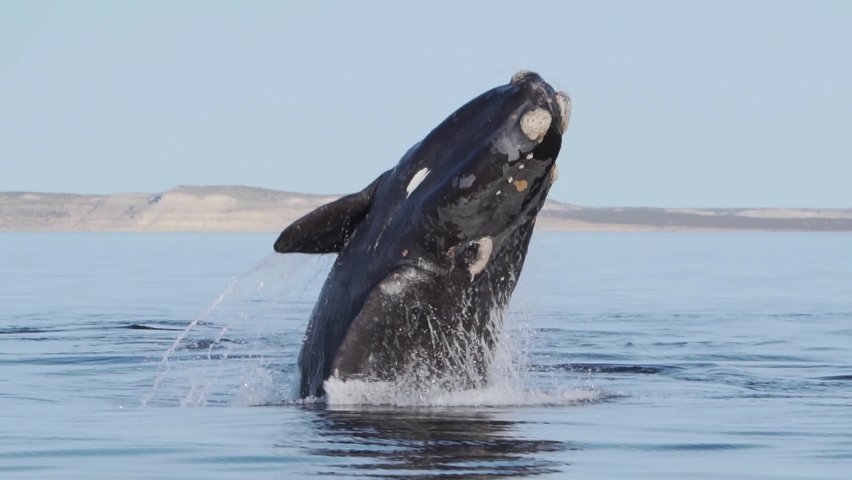 A Beautiful Southern Right Whale Breaching The Surface Of The Calm Waters Of Puerto Pirámides - Peninsula Valdés And Splashing Down - Slow Motion